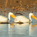 AMERICAN WHITE PELICANS on COWAN LAKE-03210975.jpg