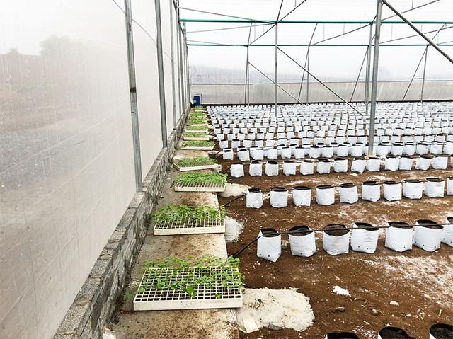 Cùng Thọ Phú Xanh tìm hiểu kỹ thuật trồng, chăm sóc dưa vàng kim hoàng hậu