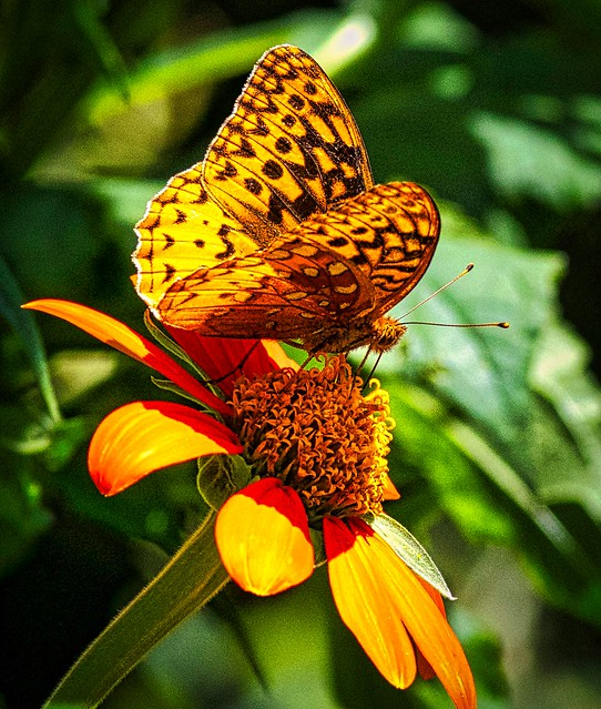 Great Spangled Fritillary on a Tithonia Flower