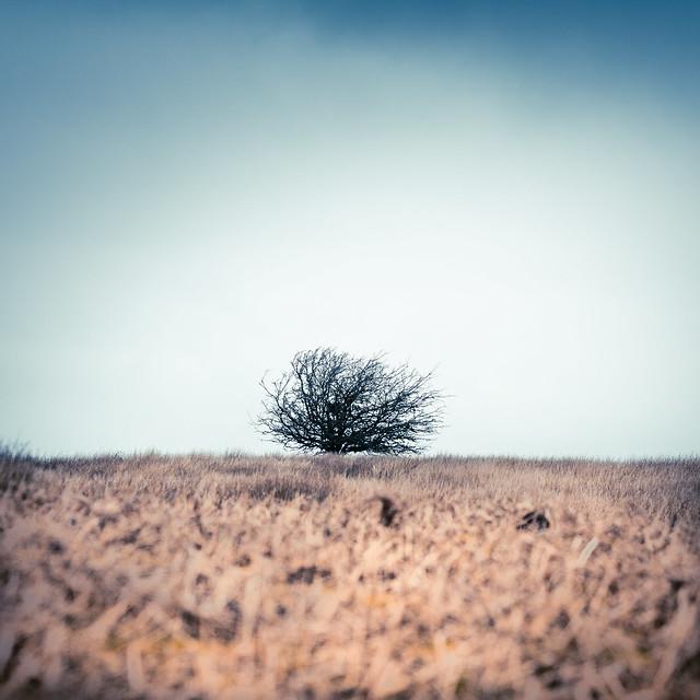 Hawthorn, spring rising