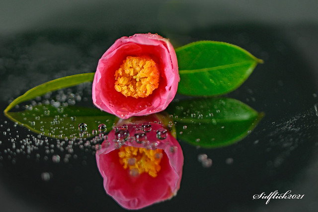Begonia with Water Drops