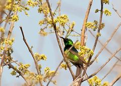 Beautiful Sunbird (Cinnyris pulchellus pulchellus) - 20190307-02