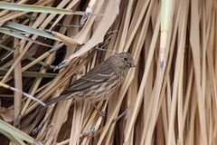 Sparrow in tall grasses
