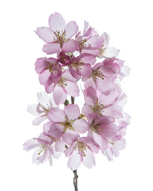 Prunus itosakura 'Whitcomb',  spring flowering cherry - Darts Hill Garden, Surrey, BC.
