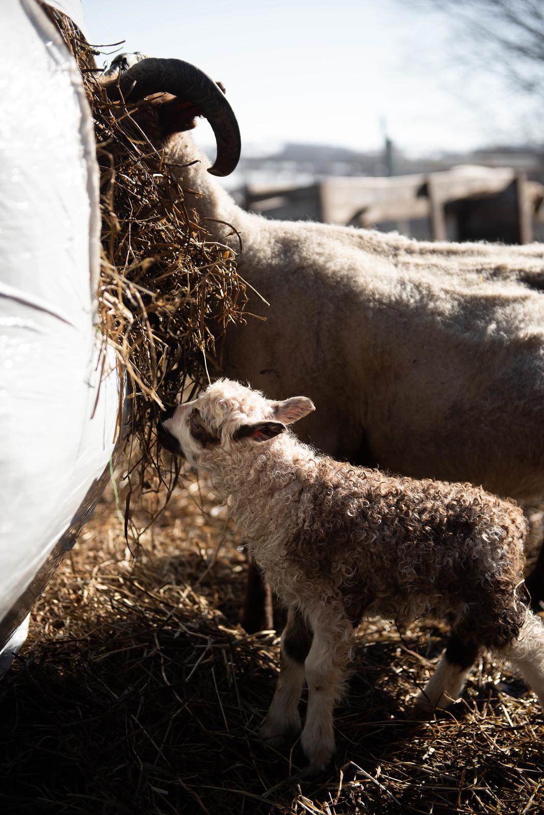 Get Bentz Lambing Day