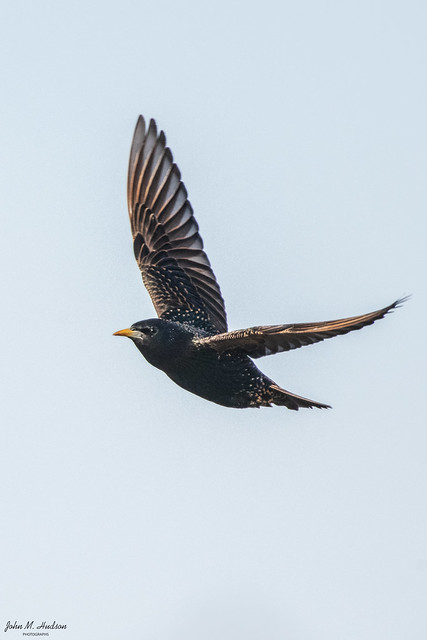 2021.03.04.7633.D850 European Starling on the Fly