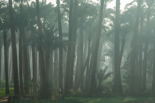 Armchair Traveling - Date Palm Grove on a Misty Morning, Dahshur, Egypt