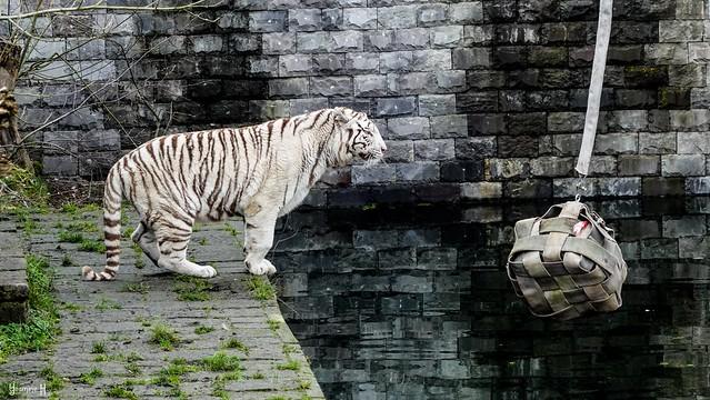 9479 - White Tiger