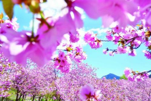 深山の花園 八重桜
