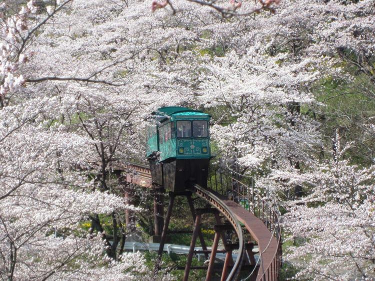 cherry blossoms at Funaoka Castle Ruins Park