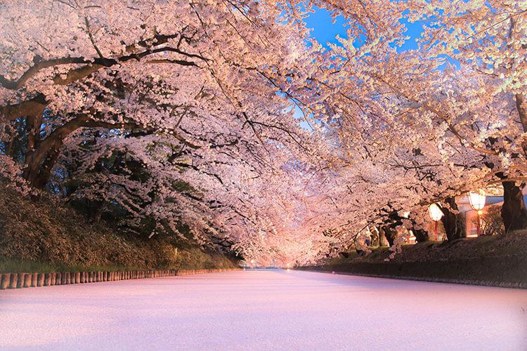 a blanket of cherry blossom petals
