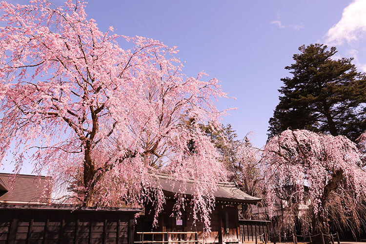 Sakura trees at Bukeyashiki Street