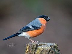 Male bullfinch