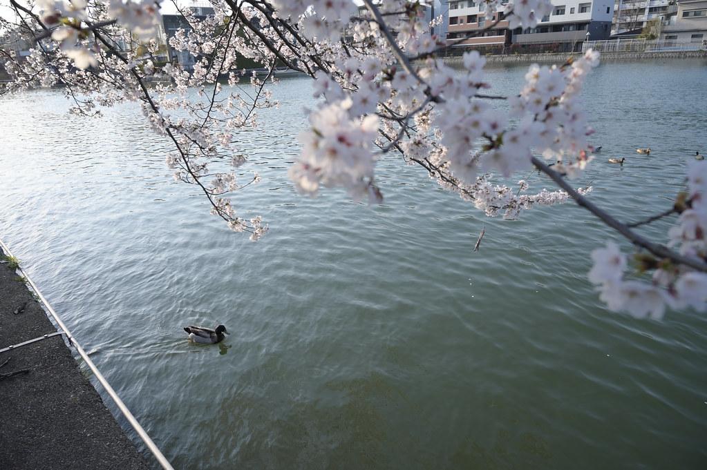京都岡崎の2021年桜 9