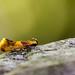Orange-headed Epicallima Moth