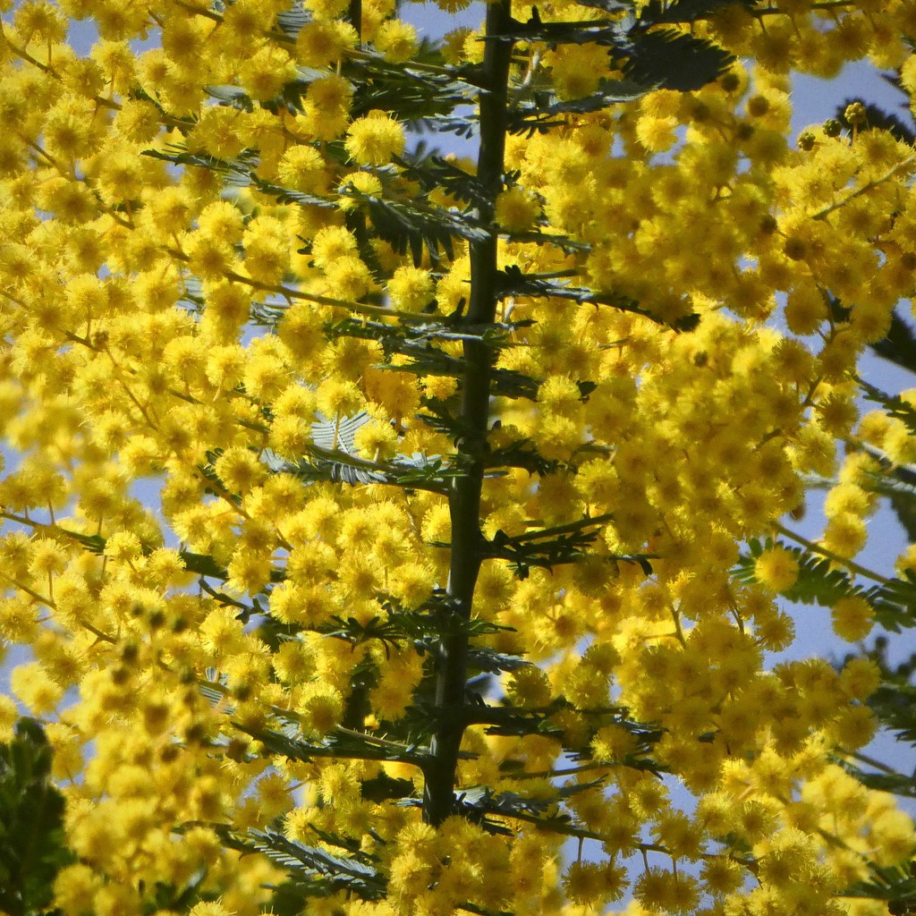 silver wattle with my Lumix TZ85 (3/3)