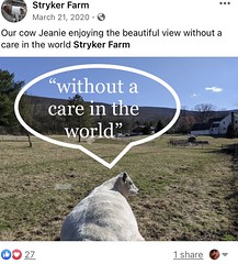 Beef farm cow without a care in the world