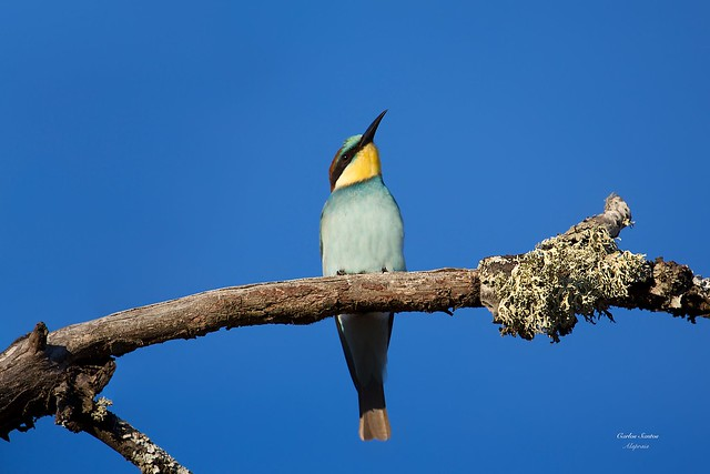 Abelharuco (Bee-eater)