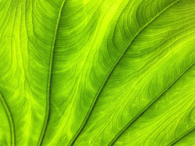Leaf 2 (Colocasia)