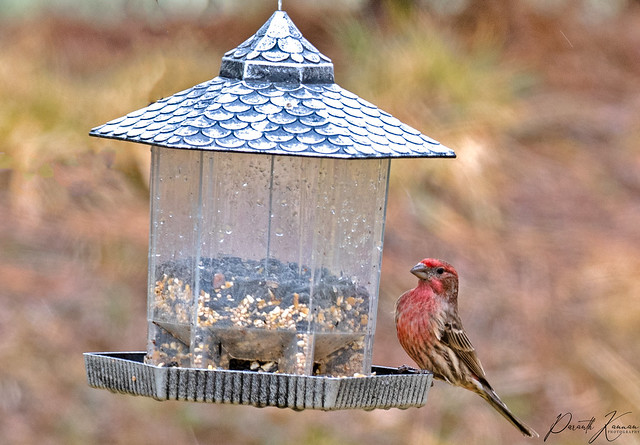 A habitue' of the feeder