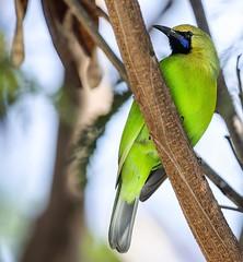Leaf Bird #ig_bird_watchers #birds_photography #birdsfreaks #birds_4you #birdsnature #birdsadored #loves_united_birds #birdextremefeatures #best_bird_of_ig #birdpics #birdphoto #bird_freaks #birds_of_ig #nuts_about_nature #massaudubon #birdphotographyindi