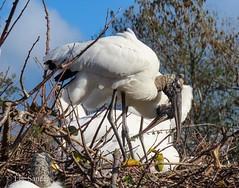 Wood Storks - Love Birds