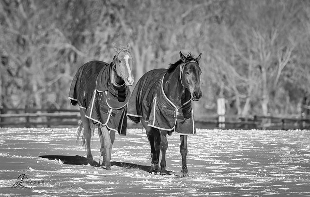 Horse in the Snow (B/W)