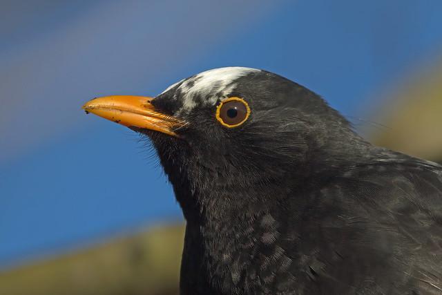 Eurasian Blackbird, Kinghorn Loch, Fife