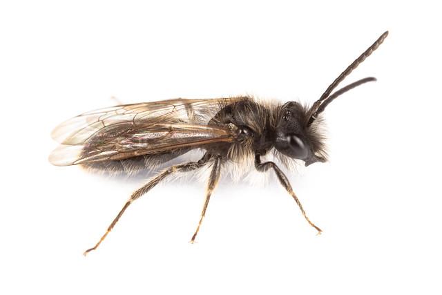Andrena apicata/praecox
