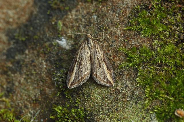 70.195 Streak (Chesias legatella), Burntisland, Fife