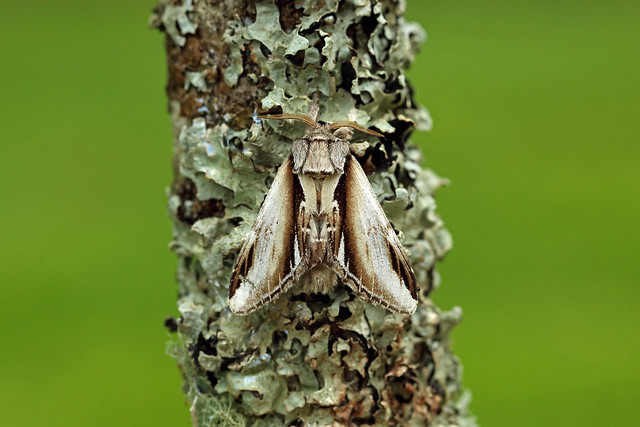 71.018 Lesser Swallow Prominent (Pheosia gnoma), Burntisland, Fife