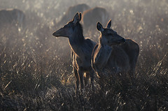 Two Hinds
