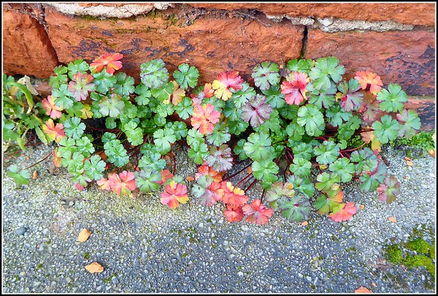 Wild Geraniums ..