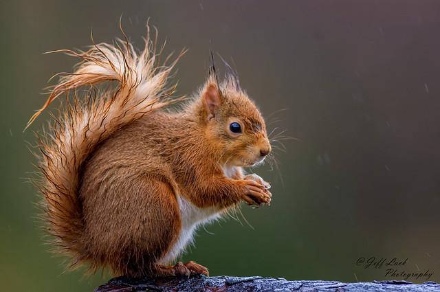 JWL4029  Red Squirrel..