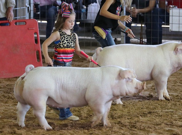 Show Pigs