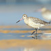 Flickr photo 'Bar-tailed Godwit' by: 0ystercatcher.