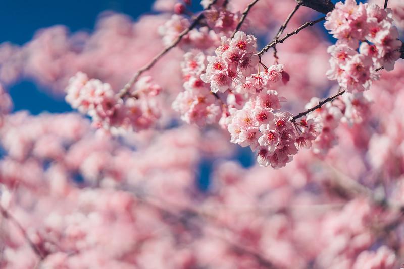 櫻花 Sakura|Cherry blossom