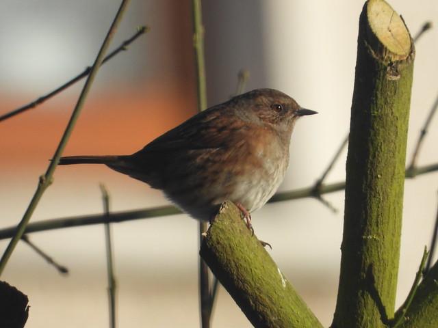 Dunnock in the garden