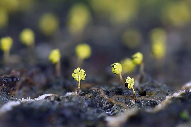 Vihersolmunen - Physarum viride - a slime mold