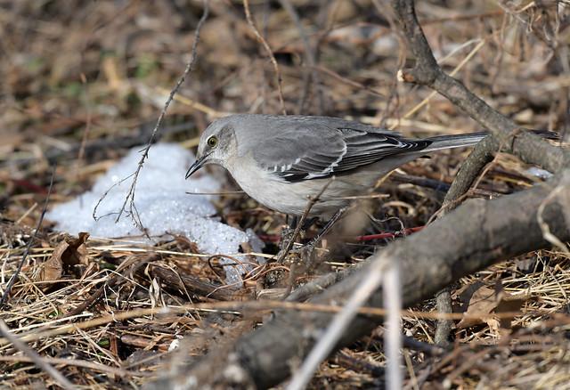 850_6253 Northern Mockingbird