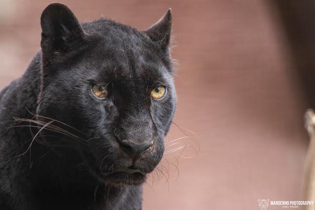 Black Leopard - Pakawi Park - Belgium