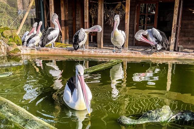 9481 - Pelicans