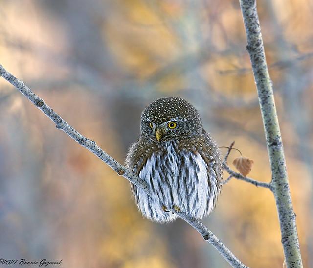 Northern Pygmy Owl  2634