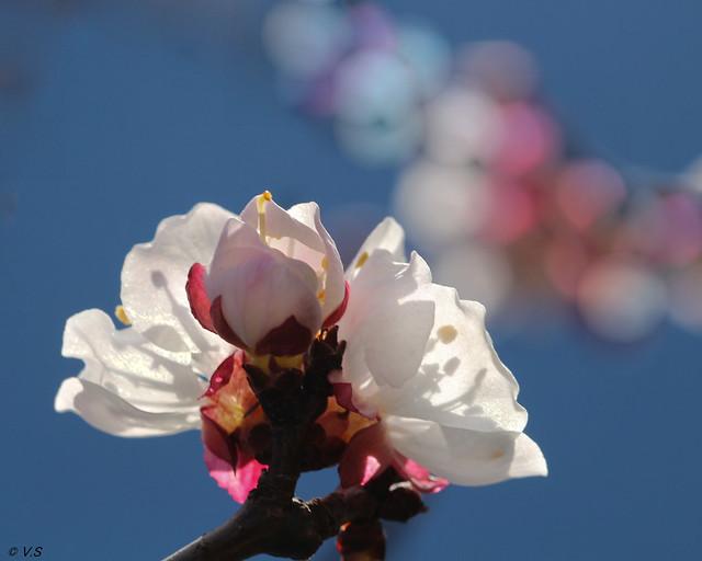fleurs d'abricotier 2