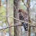 Hawks-11.jpg