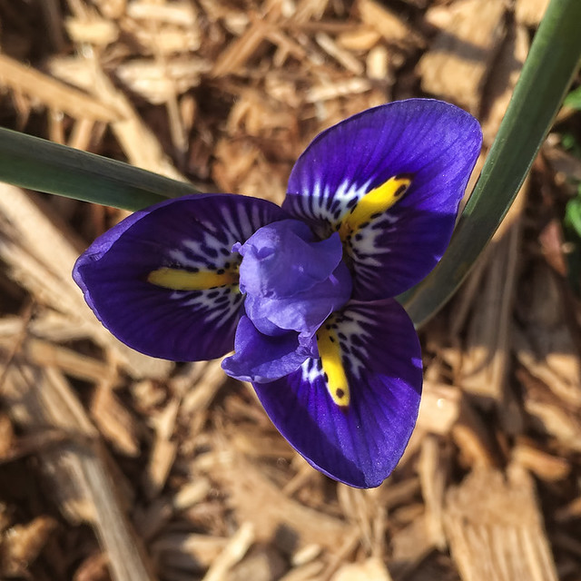 my newest iris