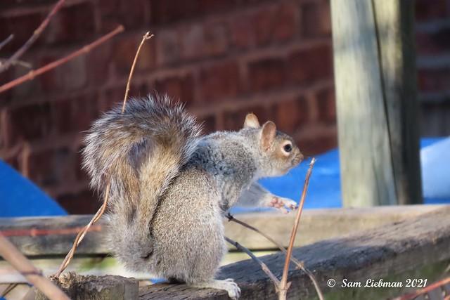 Gray Squirrel - Écureuil Gris