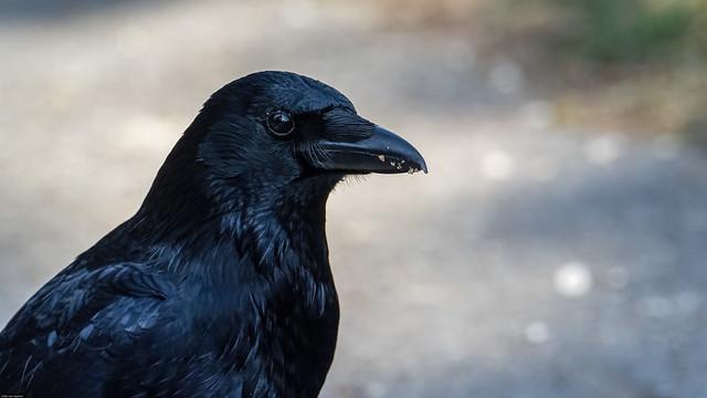 Corneille noire/Corvus corone,