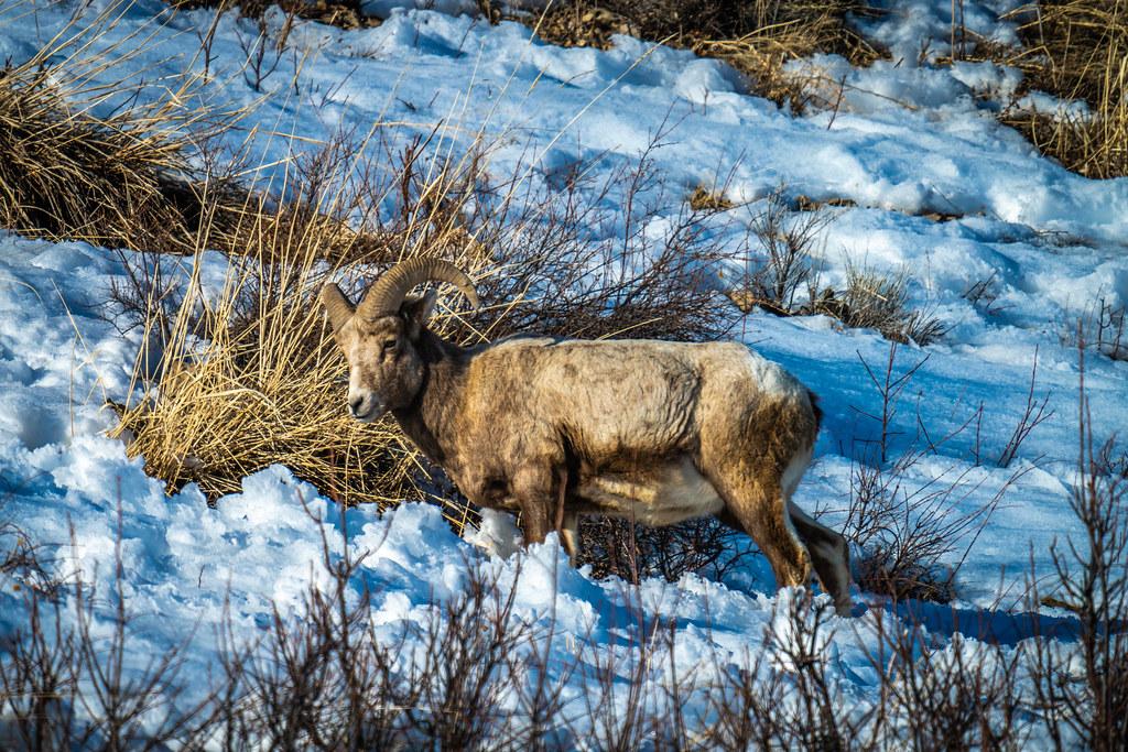Big Horn Sheep Yellowstone National Park Winter Wildlife Sony A7R4 Montana Fine Art Landscape Nature Wildlife Photos! Elliot McGucken Fine Art American West Photography! Sony A7R 4 & Sony FE 200-600mm f/5.6-6.3 G OSS Lens 1.4x Teleconverter Lens SEL14TC