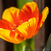 Yellow & Orange Tulip, 3.5.20